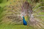 Peacock in the Garden. Warwick Castle, England. Photo by Lauren Keim.